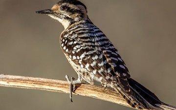 ветка, птица, клюв, перья, хвост, дятел, техасский дятел