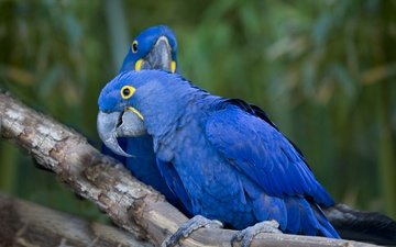 ветка, птицы, клюв, перья, ара, попугаи