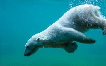 вода, природа, медведь, хищник, животное, белый медведь
