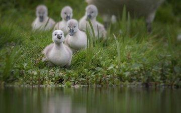 трава, вода, птицы, пруд, лебедь, птенцы