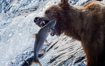 water, river, bear, fish, fishing, alaska, grizzly, catch