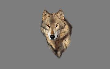 фон, взгляд, хищник, волк, голова
