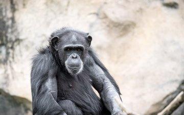 взгляд, обезьяна, зоопарк, шимпанзе