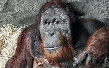 взгляд, обезьяна, примат, орангутанг, орангутан