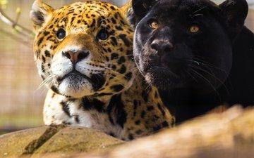 look, a couple, muzzle, jaguars, black panther
