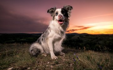 закат, мордочка, взгляд, собака, язык, австралийская овчарка, lyni, valter viktor