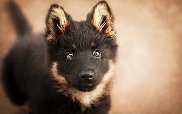 eyes, muzzle, look, dog, puppy