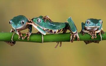 зеленые, веточка, стебель, лапки, лягушки