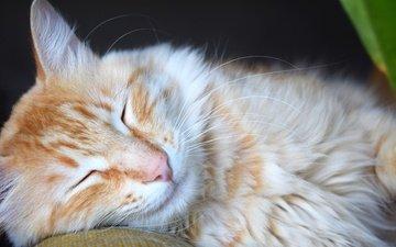 animals, cat, muzzle, mustache, sleep, red