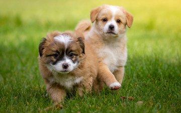 трава, мордочка, взгляд, щенки, собаки