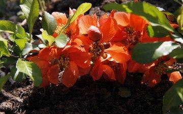 природа, сад, весна, дача, декоративно-цветущие, май айва японская, цветущие кустарники
