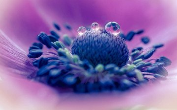 макро, цветок, капли, лепестки, пестики
