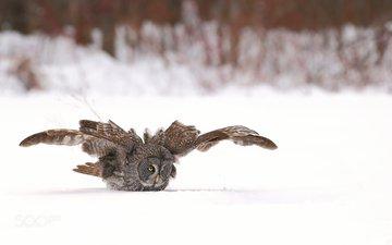 сова, снег, зима, полет, крылья, птица, бородатая неясыть, неясыть, denis dumoulin