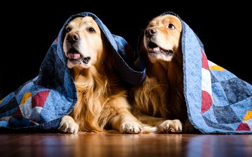 одеяло, собаки, золотистый ретривер, голден ретривер, kathleen m. fischer