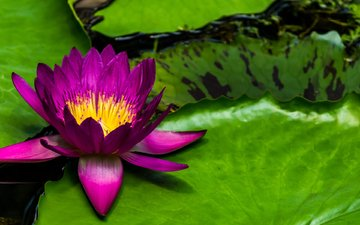 leaves, flower, petals, pond, lily, nymphaeum, water lily