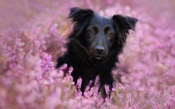 цветы, мордочка, взгляд, собака, linda kohler