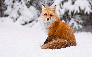 снег, зима, лиса, лисица, хвост
