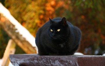 кот, мордочка, усы, кошка, взгляд, черный
