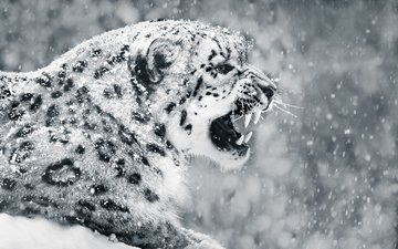 snow, winter, black and white, fangs, profile, snow leopard, irbis, abeselom zerit
