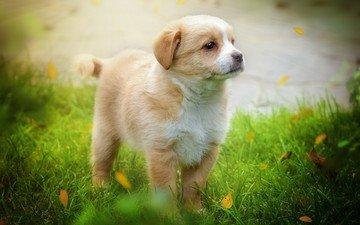 трава, листья, мордочка, взгляд, собака, щенок