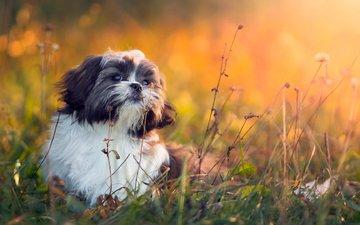 grass, muzzle, look, dog, shih tzu, elena sendler, shih-tsu