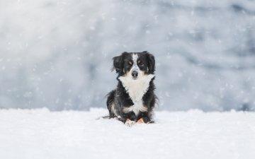 снег, зима, собака, австралийская овчарка