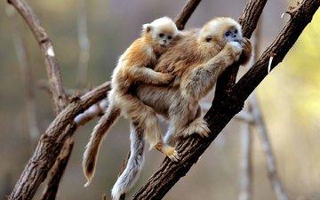 primates, monkeys, monkey, gibbon