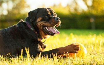 морда, трава, собака, ошейник, язык, мячик, ротвейлер
