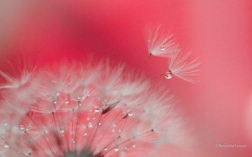 макро, фон, цветок, капли, одуванчик, пушинки, былинки
