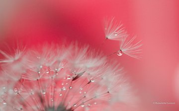 macro, background, flower, drops, dandelion, fuzzes, blade