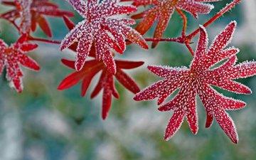 листья, макро, иней, растение