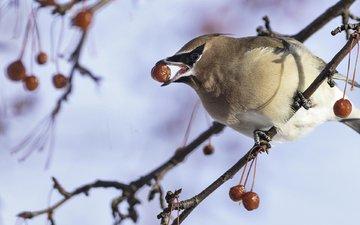 winter, bird, the waxwing, françois légaré
