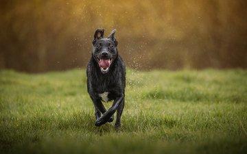 морда, трава, капли, собака, язык, пес, бег, mark gibbons