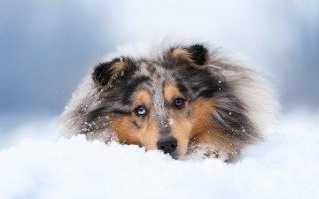 снег, зима, собака, колли, шотландская овчарка
