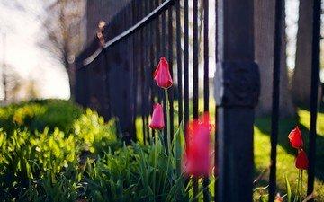 цветы, забор, тюльпаны