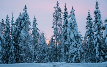 деревья, снег, природа, лес, зима, ели