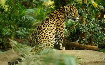 predator, big cat, jaguar