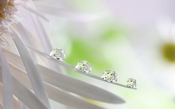 reflection, flower, drops, petals, droplets, daisy, white