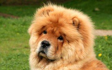 мордочка, взгляд, собака, чау-чау