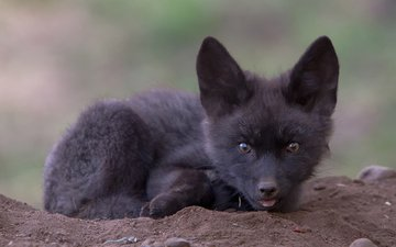мордочка, взгляд, лиса, лисица, детеныш, лисенок, чернобурка