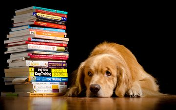морда, взгляд, книги, собака, черный фон, золотистый ретривер, голден ретривер, kathleen m. fischer