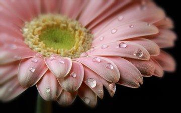 flower, drops, petals, black background, gerbera