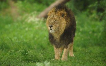 grass, predator, big cat, leo, mane