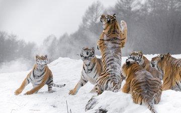 snow, winter, predators, big cats, tigers