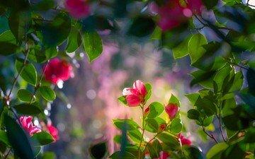 цветы, листья, ветки, камелия