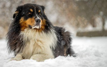 собака, австралийская овчарка, аусси