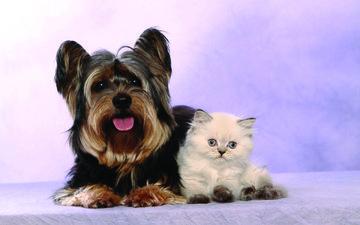 взгляд, котенок, собака, мордочки, йоркширский терьер, tierfotoagentur