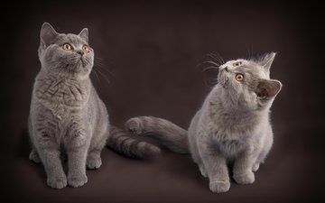 mustache, look, cats, kittens, faces, british shorthair