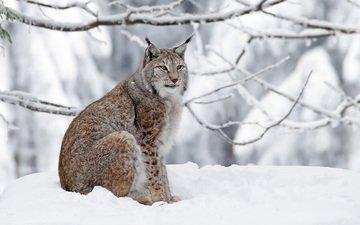 winter, lynx, predator, big cat