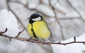 ветка, снег, зима, птица, клюв, перья, синица